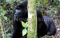 Human-gorilla conflict management efforts pay off