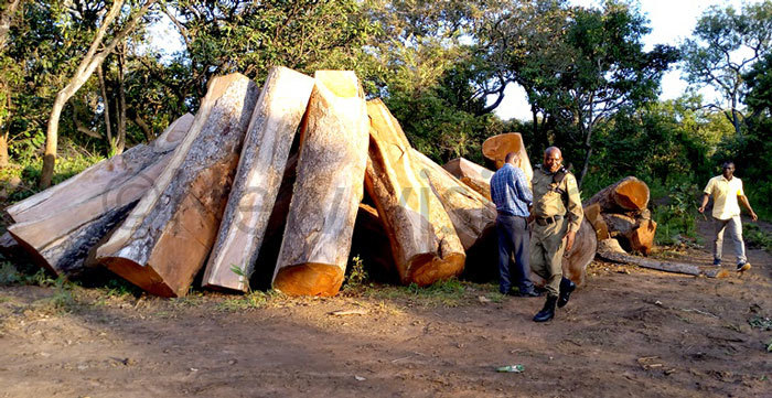officials led by regional ange anager obert winy and environmental olice inspecting illegally cutting of fzelia fricana logs in ei forest