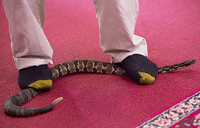 Snake-handlers of West Virginia test faith with poison