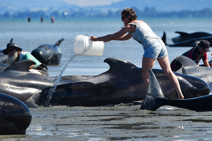 volunteer pours water on pilot whales  hoto