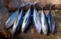 Tuna value dropping, industry must plan ahead - report