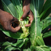 Govt probes counterfeit pesticides used against armyworms