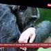 Celebrating 20 years of Chimpanzees at Ngamba island