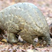 Cameroon pangolin traffickers caught in the act