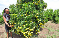 Soroti fruits farmers cut down orange trees out of frustration