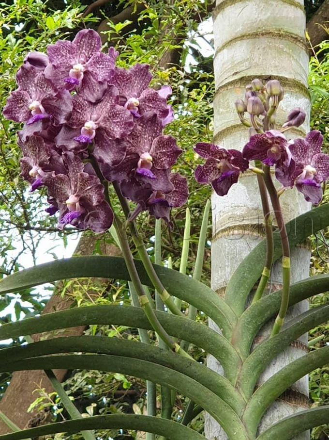 any enthusiasts and collectors describe orchids as the most beautiful flowers in the worldhoto by itah ukasa