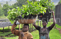 Government to distribute 156 million coffee seedlings