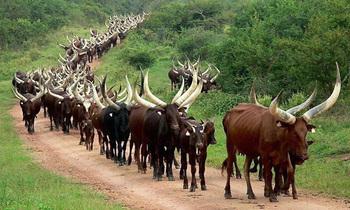Ankole cows 350x210