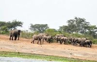 UWA still pursuing wounded elephant