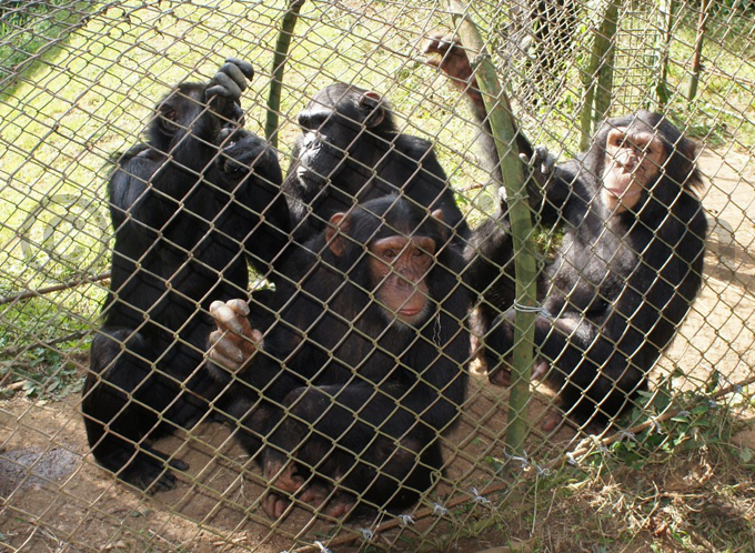 ome of the other chimpanzees at  hoto by ulius uwemba