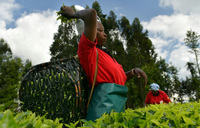 Kenya tea producers turn over a new leaf as prices stumble
