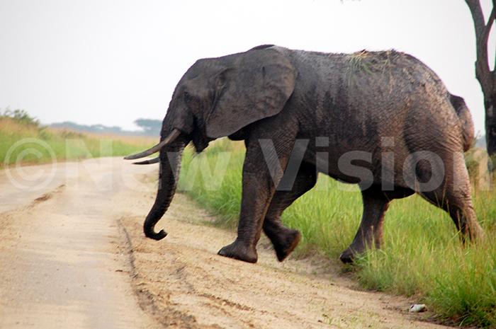 lephants  n adult elephant crossing the road in ueen lizabeth ational ark in shasha sector