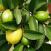 Guava leaves can restore your hair