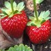 Strawberry growing made easy