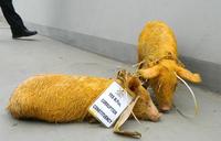 'Jobless Brotherhood pig' starves to death in Police custody