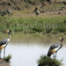Golfers to play to conserve the Crested Crane