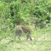 Leopard threatens Gombe-Kanoni village, Wakiso