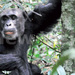 Conservation of apes threatened by Migrants, Investors
