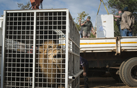 Rescued circus lions take first steps on African veld