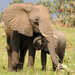 Elephant poaching declines in East Africa