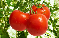 If you refrigerate your tomatoes, you're doing it wrong