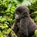 Baby boom at Bwindi Park as two gorillas are born