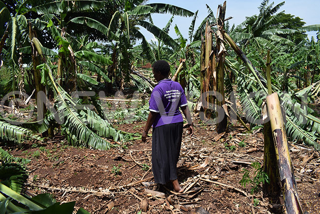 woman walking through her banana plantation that was destroyed by the hailstorm