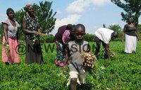 Groundnuts improving Tororo farmers fortunes