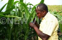 Army worm threatens grain trade