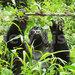 Uganda's Mountain gorillas' habitats wither