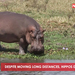 Despite moving long distances, hippos don't sweat