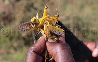 Locusts edible but could cause constipation