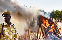 Hope for elephants as ivory prices fall: conservationists