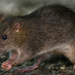 World's first human case of rat disease found