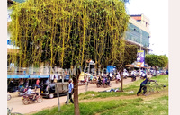 Dangerous plant invades Kampala