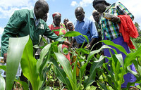 Africa struggles for weapons against armyworm curse