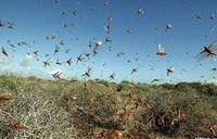 How locusts perished in Lake Albert