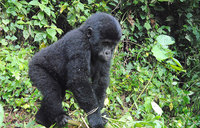 Gorilla conservation enhances livelihoods in Western Uganda