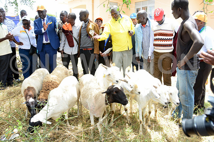 griculture minister incent empijja second left and state minister eter okeris in a yellow shirt inspecting various breeds of sheep and goats