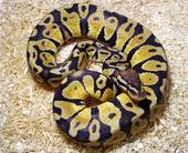 pythonregiuspastel100535250orig