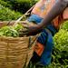 Govt starts sh20bn tea project in Kabale, Kisoro