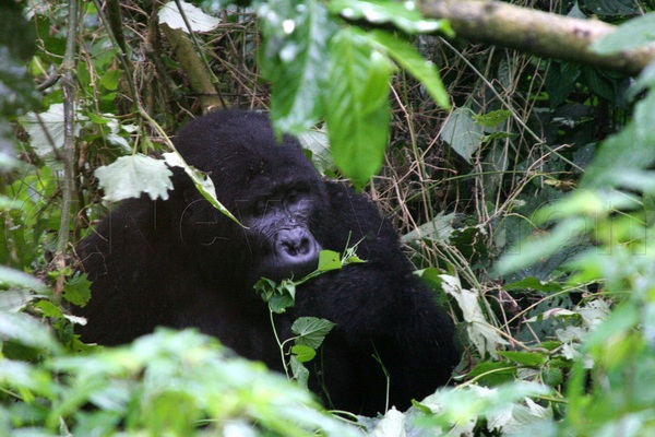 Gorillas are mostly vegetarian