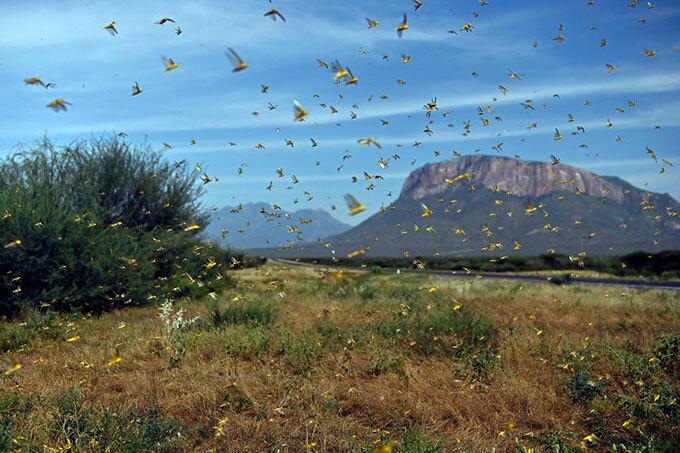 ocusts swarm through erata village in northern enya on an 22 2020  photo