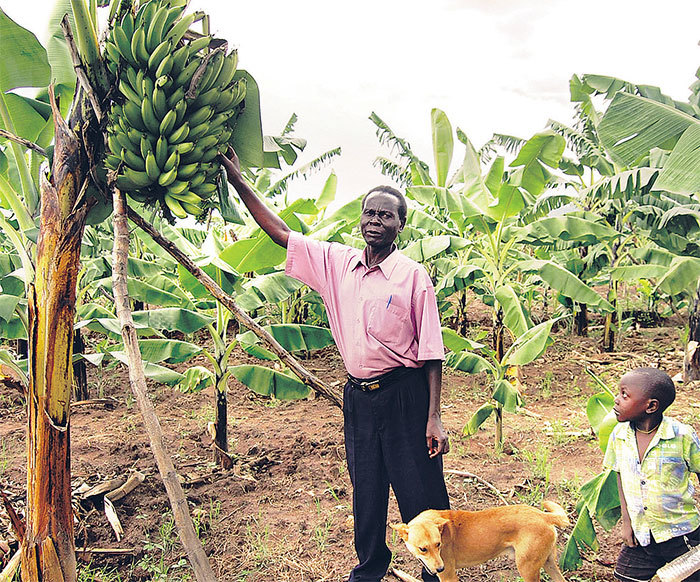 farmer in a banana plantation uch agricultural ventures can now be insured with the growing insurance options on the market