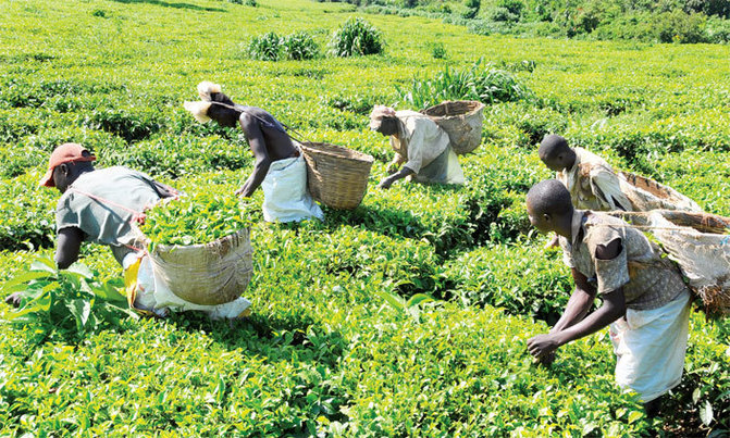 Uganda's tea fetches low price at Mombasa auction