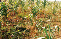 Tough times as drought hits Kasese farmers
