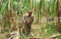 Is sugarcane growing crippling Busoga?