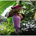 Health benefits of eating a banana flower