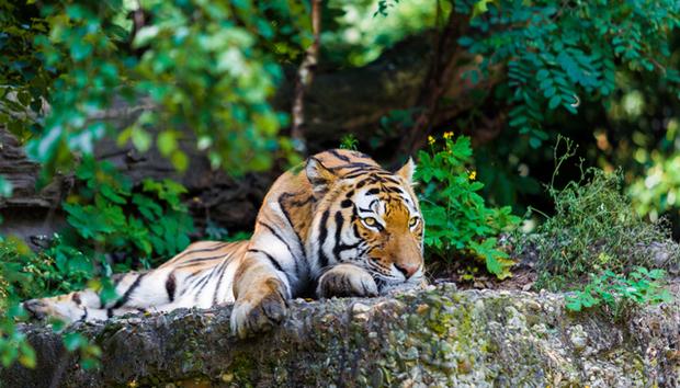 htc-tigere