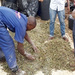 Converting sweet potato garbage into high quality livestock feed